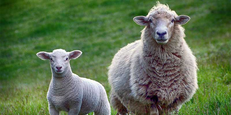 A sheep and a lamb stood side by side