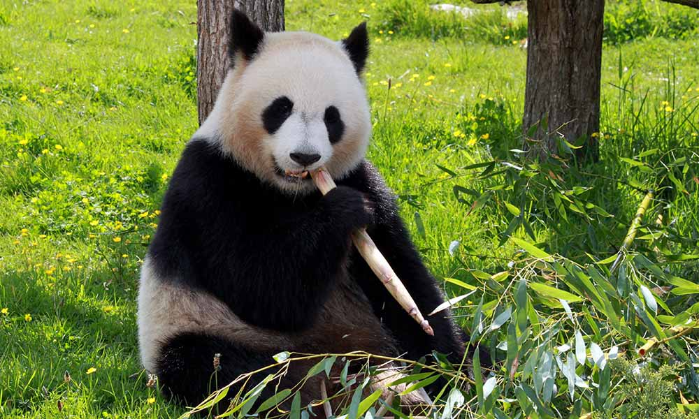 Panda bear sits and eats Bamboo
